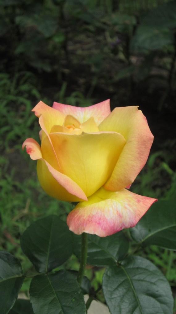 rose Jardin de Tuyet
