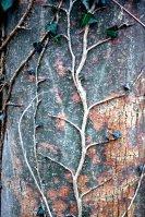 Efeu klammert sich an einen Baum.