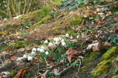 Schneeglöckchen kündigen schon seit einiger Zeit den Frühling an.