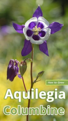 How to Grow Aquilegia Columbine