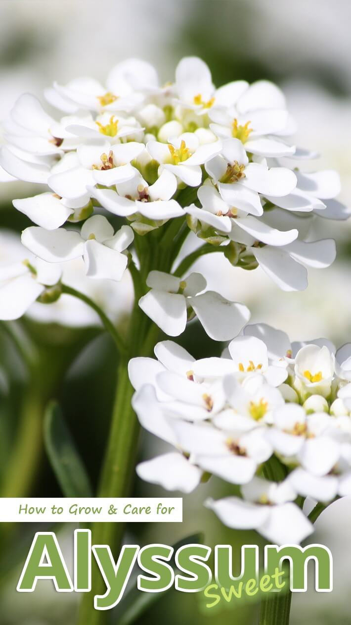 Wonderful alissum (planting and care)