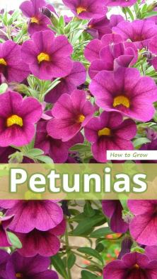 How to Grow Petunias
