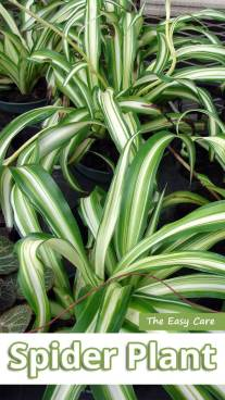 The Easy Care Spider Plant