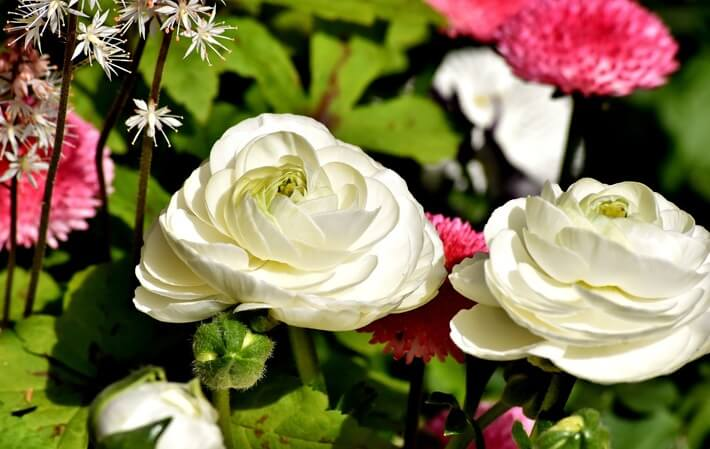 How to Grow Ranunculus Flowers