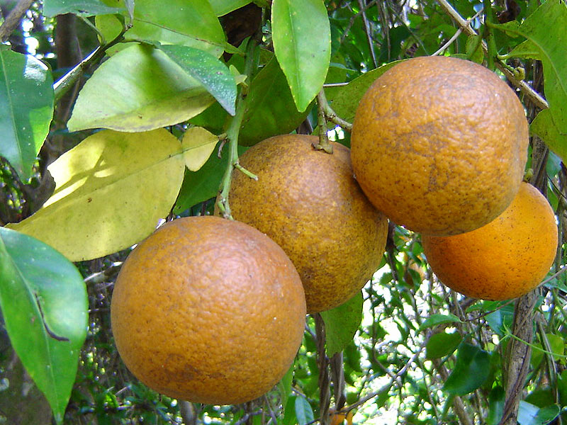 Naranjas_W