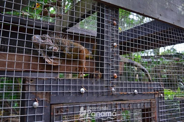 Iguana en el Serpentario de El Valle de Antón.