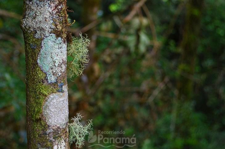 Lo verde pegado al árbol, como un arañita, es un indicador que es un bosque sano.