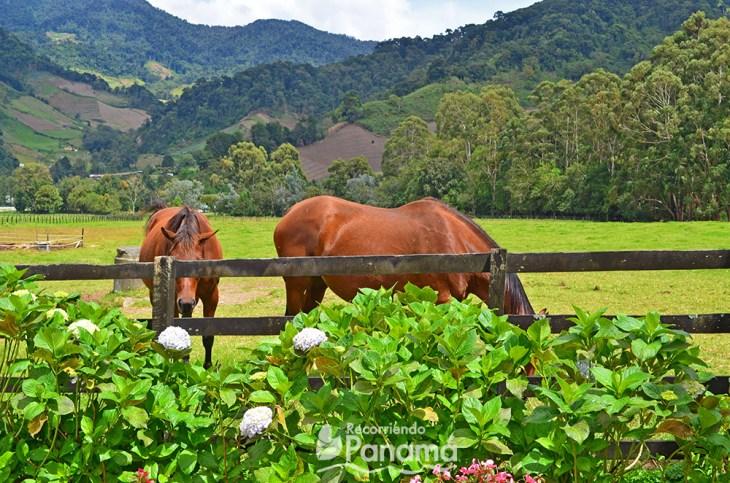 Yeguas preñadas. Haras de Cerro Punta.
