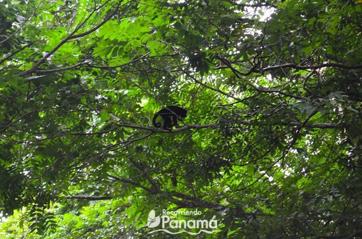 Mono Aullador en el Parque Metropolitano