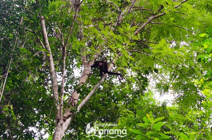 Mono aullador.