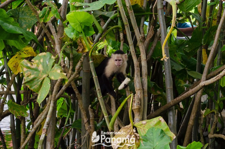 Cariblanco monkey eating a banana that a tourist gave him. Do not do that