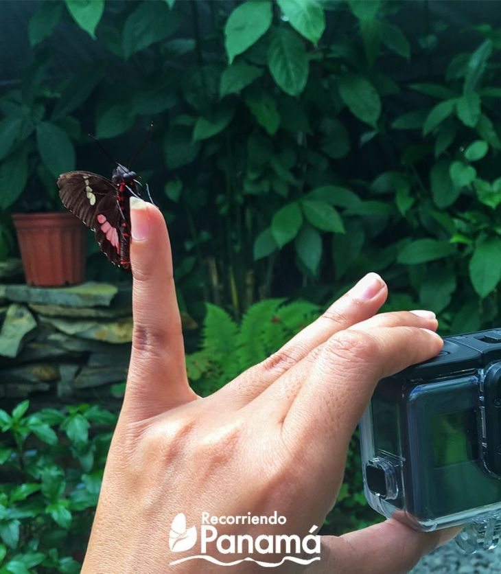 Mariposa Corazón de Ganado.