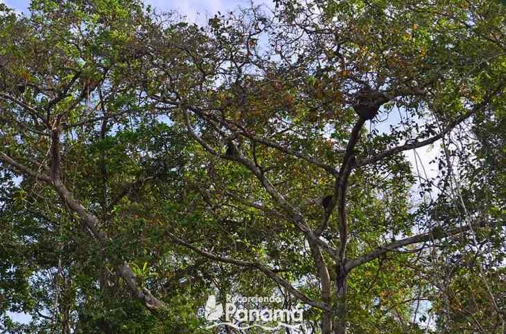 Monos Aulladores de la Isla de los Monos.