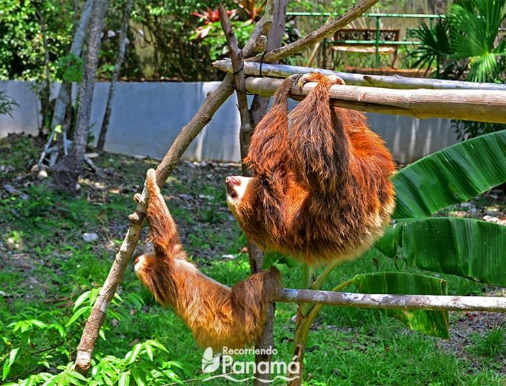 The sloth is sunbathing
