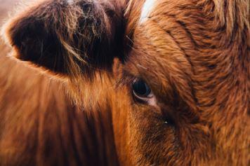 Zwerfvuil maakt koeien ziek in Vlaanderen