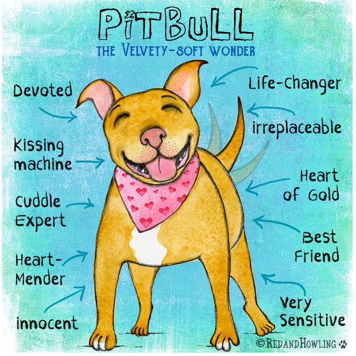 PitBull: The Velvety-Soft Wonder