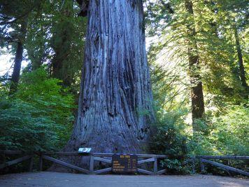 "The ""Big Tree"""