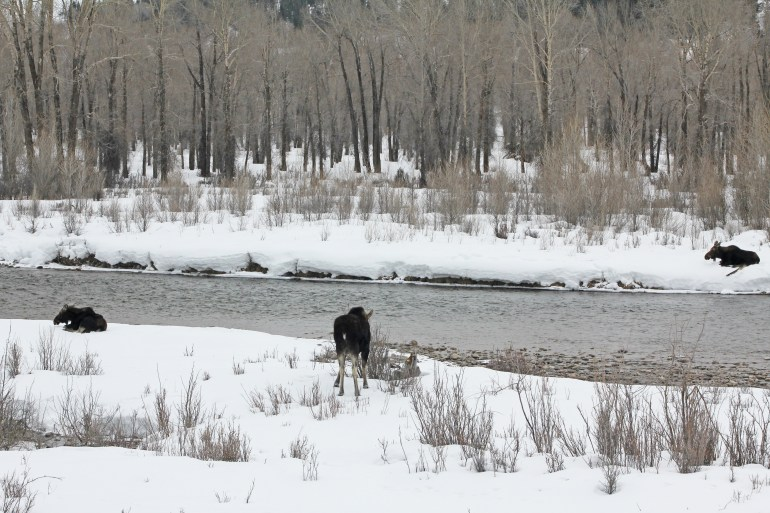 moose in grand teton national park