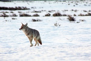 coyote in grand teton national park