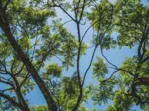 tree in hawaii