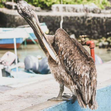pelican puerto ayora fish market