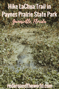 Paynes Prairie State Park in Gainesville, Florida is an easy way to get outside, but be close to a city. This is a great place to see alligators in Gainesville. La Chua Trail is a nice, easy hike with plenty of opportunites to look for wildlife. #florida #gainesville #usa #wildlife #travel #roadtrip