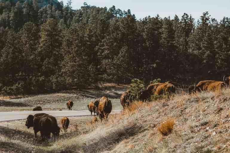 Wind Cave national park bison south dakota