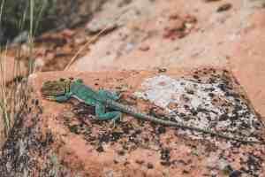 collared lizard colorado
