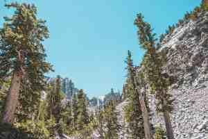 Great Basin National Park bristlecones