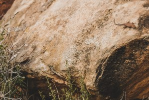 lizard in utah