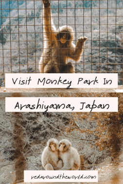 The monkey park in Arashiyama is a great place to visit if you want to see snow monkeys in Japan. The monkey park is an easy day trip from Kyoto.