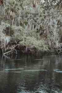 manatees at blue spring state park florida