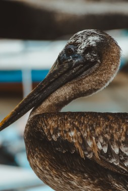 pelican puerto ayora fish market galapagos islands