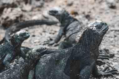 iguanas galapagos islands Las Tintoreras