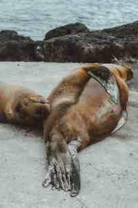 sea lions galapagos islands