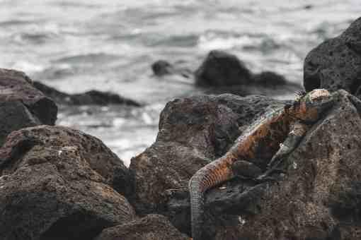 red and green iguana galapagos islands Las Tintoreras