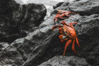 sally lightfoot crabs galapagos islands Las Tintoreras