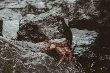 sally lightfoot crabs galapagos islands Las Tintoreras