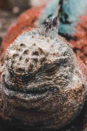 red and green iguana galapagos islands