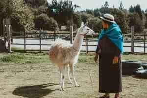 llama in village near riobamba ecuador