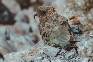 kea parrots in new zealand