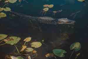 gator everglades national park