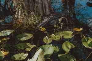 alligator everglades national park
