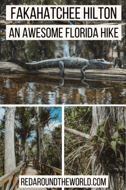 The Fakahatchee Hilton in South Florida is a great stop on a South Florida road trip. It's one of the best places to see alligators in the Everglades. It's one of the coolest hikes in Florida.