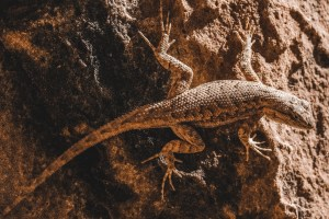 lizard in the desert in utah