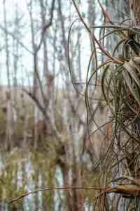 Gator Hook trail big cypress Florida
