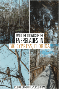 Big Cypress is an awesome Everglades alternative. Its a must-see on a South Florida road trip. Camp in Big Cypress, hike and kayak in big cypress. Florida road trip | florida hiking | florida hikes | florida things to do | south florida road trip | florida vacation | big cypress florida | big cypress national preserve | everglades national park alternative