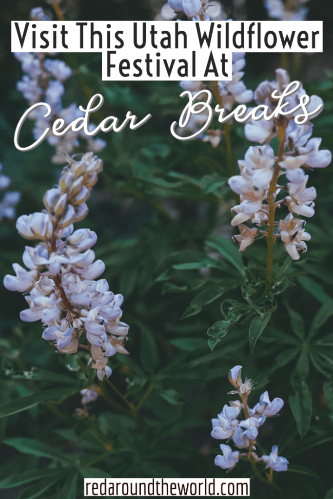 Attend the Cedar Breaks Wildflower Festival to see meadows blooming like a living rainbow while escaping the desert heat. cedar breaks utah | cedar breaks wildflowers | cedar breaks wildflower festival | cedar breaks national monument | utah national parks | utah festivals | utah parks | utah road trip | utah things to do | utah vacation | cedar city utah | cedar city things to do