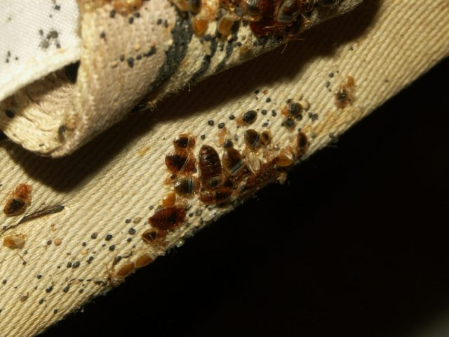 get rid of bed bugs fast