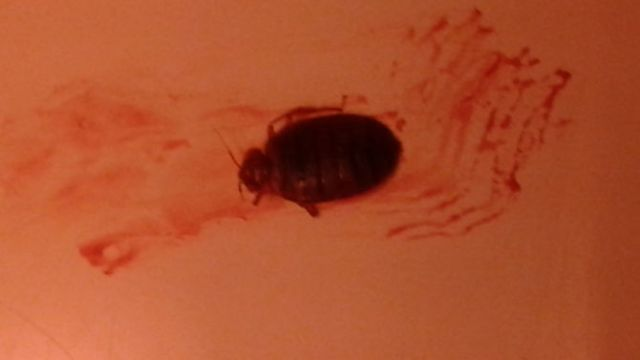 bed bug color